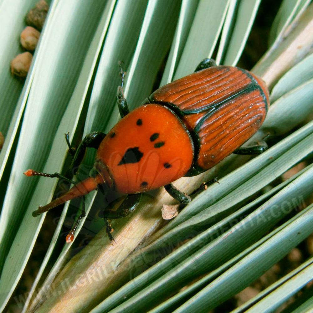 Nematodi contro il punteruolo rosso delle palme - Punteruolo rosso in casa ...